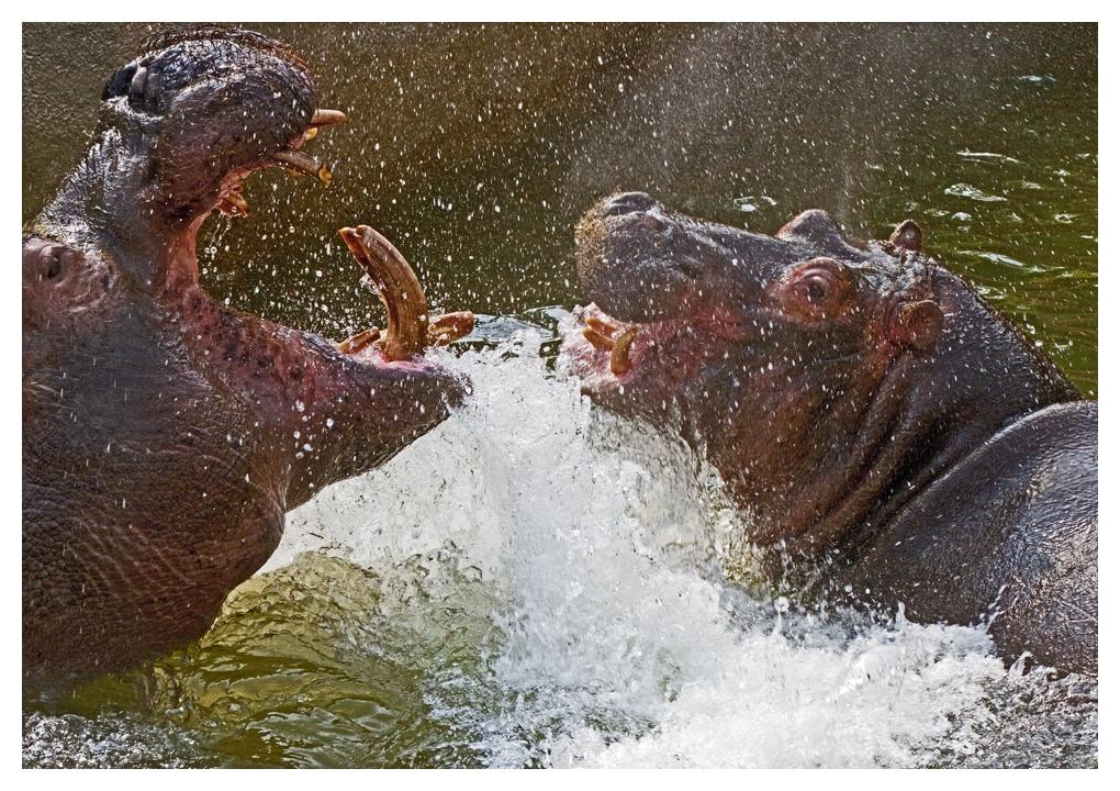 flusspferde kämpfen