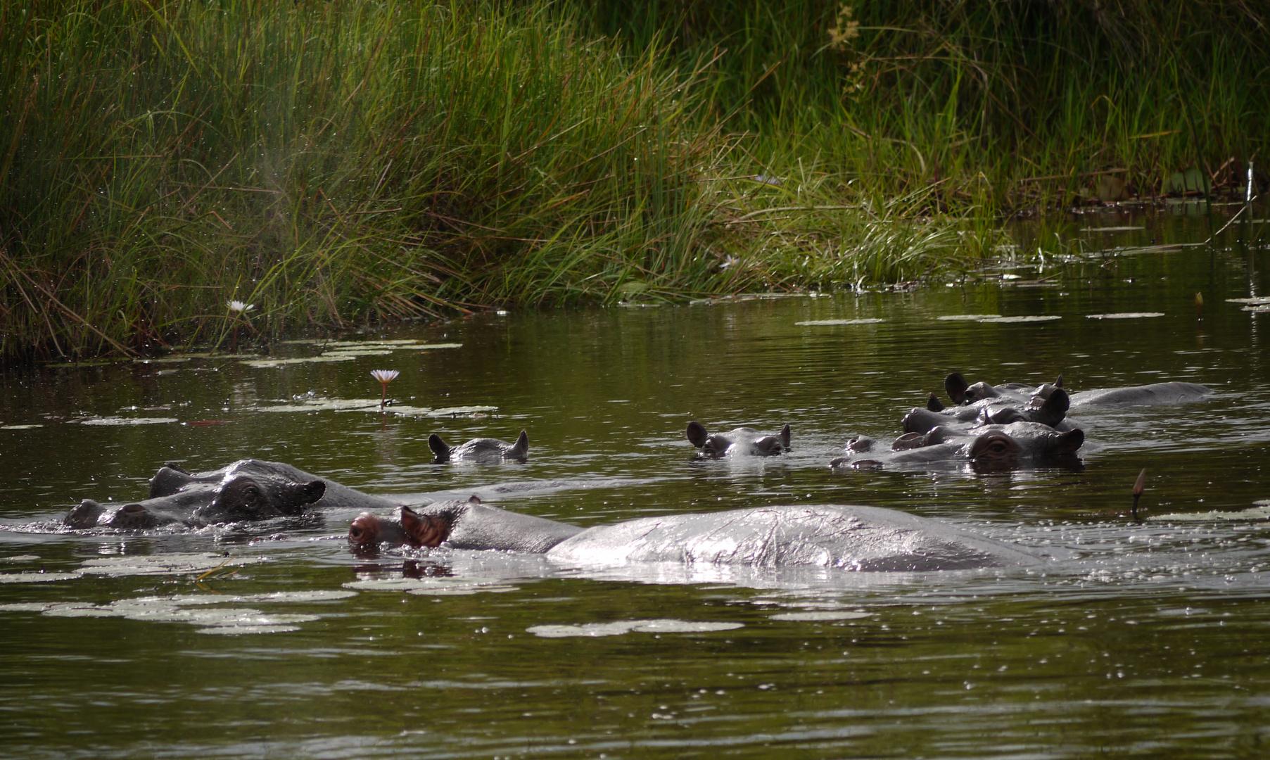 Flusspferde Okavango