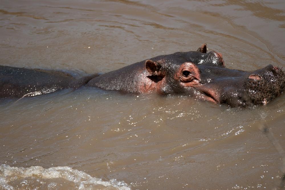 Flußpferde -- wo sie sind, da stinkts
