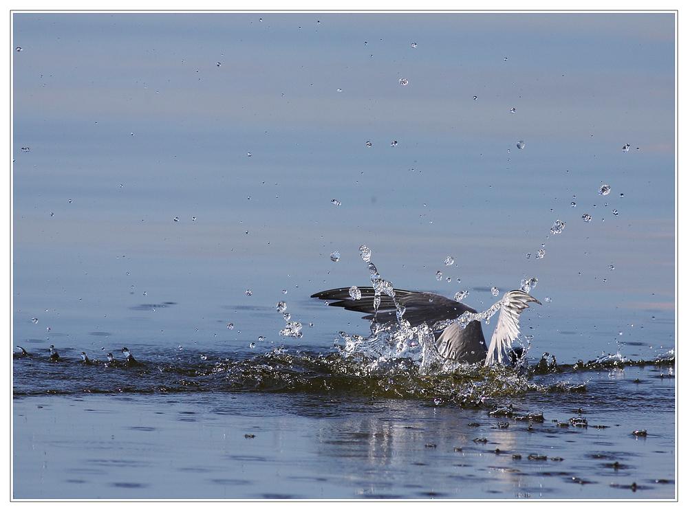 Flussseeschwalbe auf der Jagd