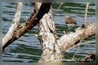 Flußuferläufer, Vogelschutzgebiet Garstadt