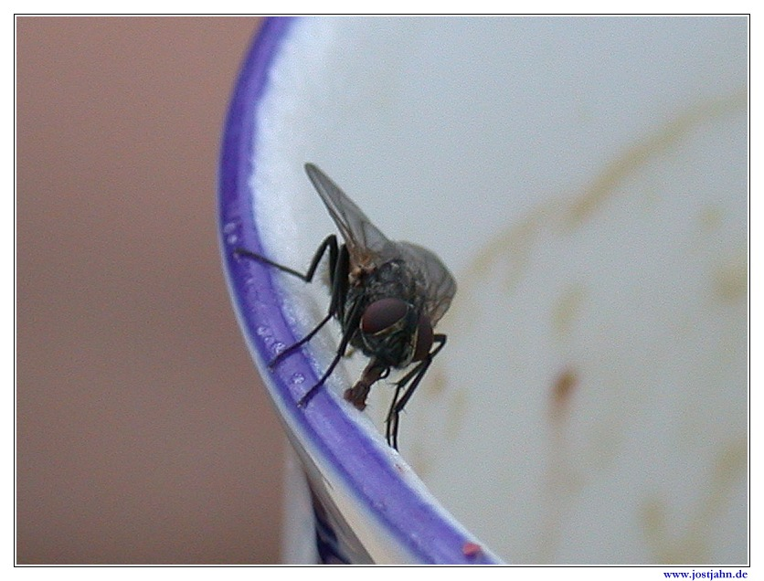 Fly at the limb of a chinese dish