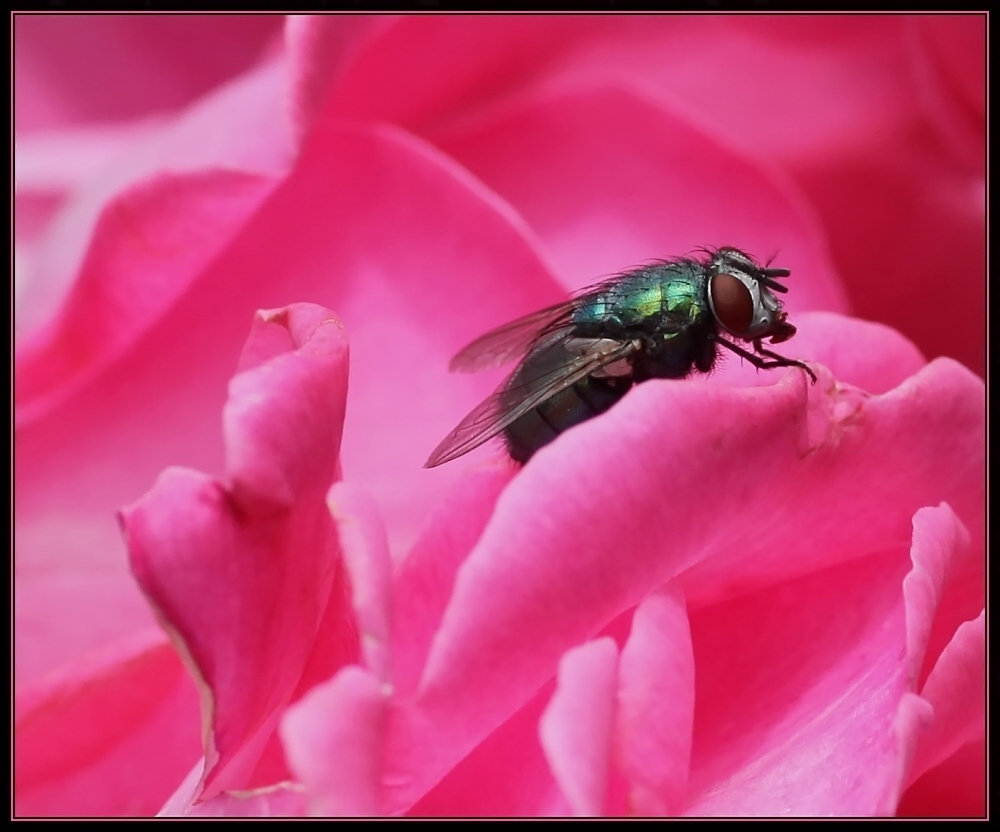 ... fly on pink ...