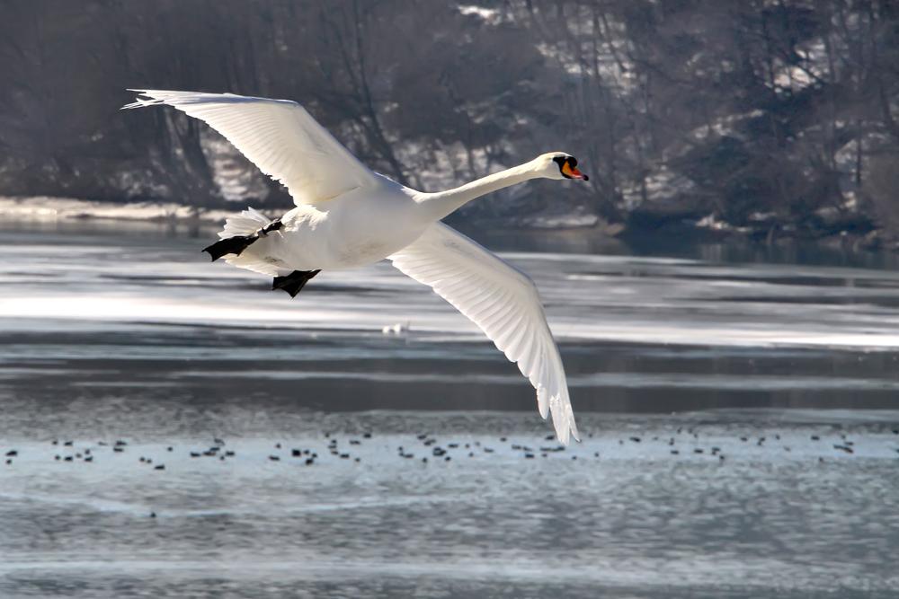 flyback swans 2