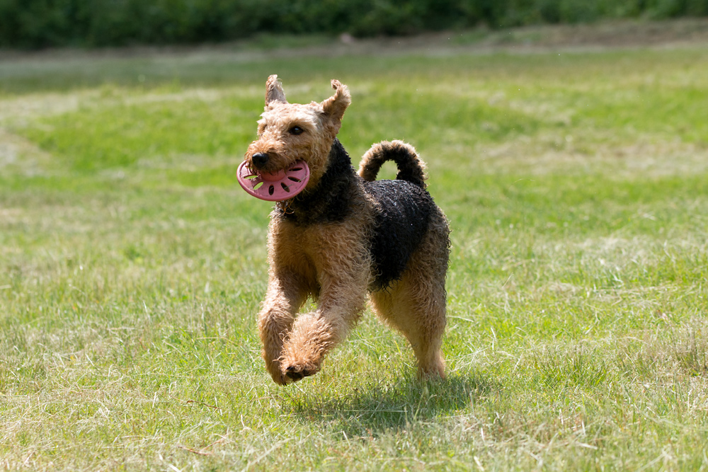 Flying Airedale