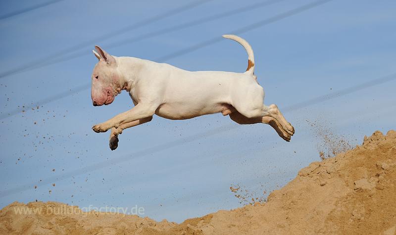 Flying Bullterrier