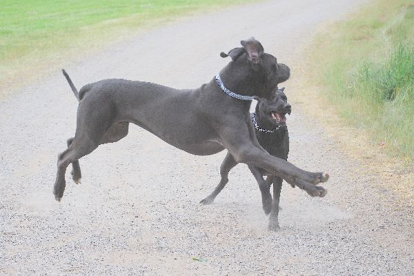 Flying Dogge