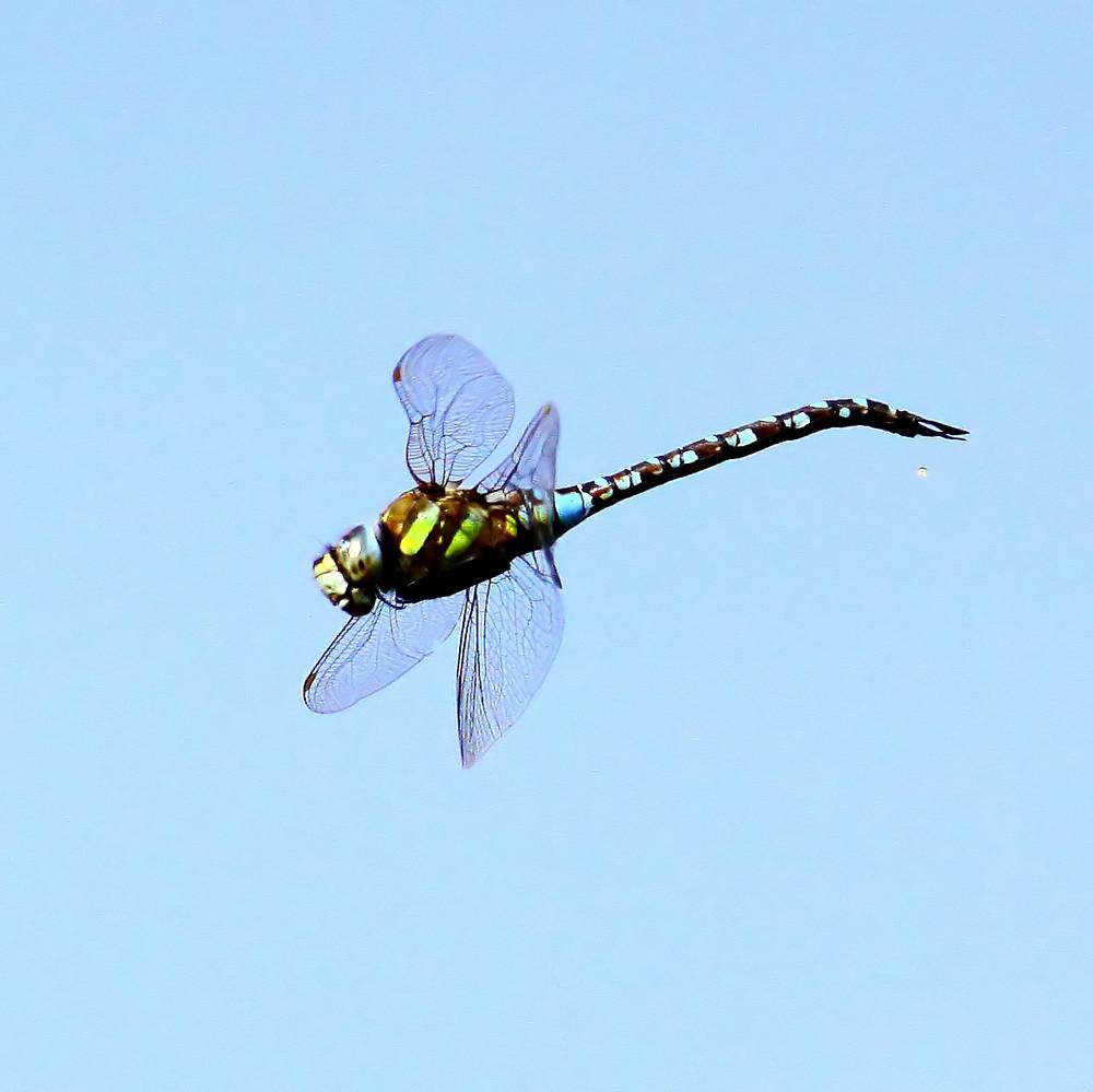 ...flying dragon fly