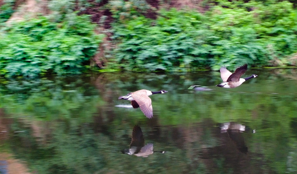 Flying ducks in the Lea Valley
