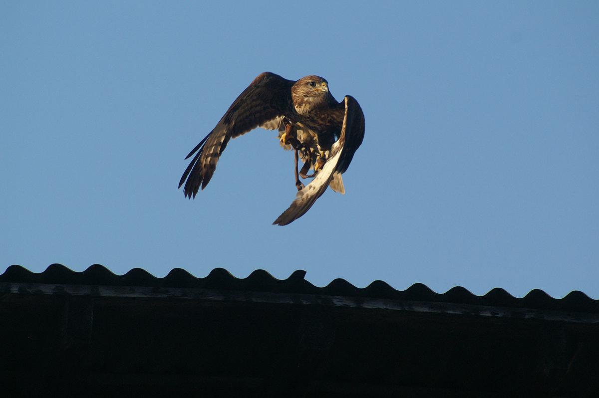 flying eagle 03