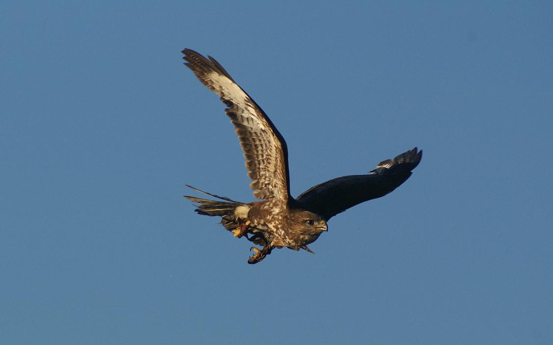 flying eagle 04