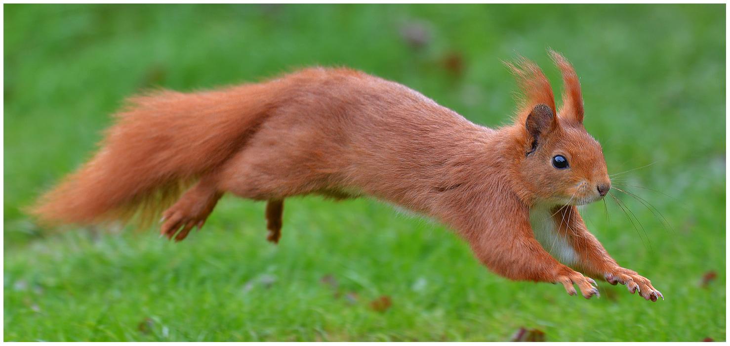 . . . flying squirrel . . .