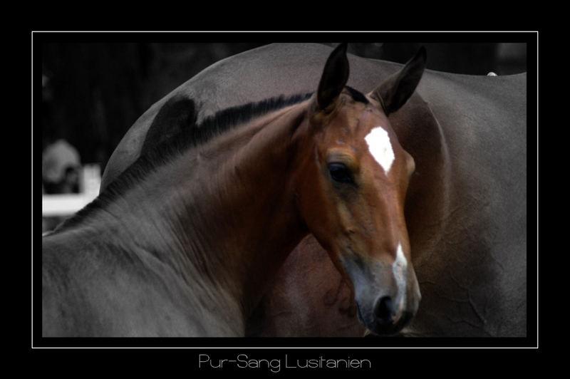 Foal Lusitano