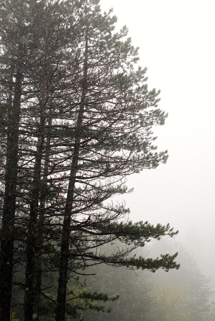Föhren im Nebel