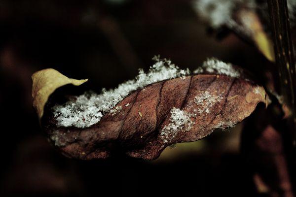 Foglia d'inverno