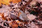 foglie morte con pettirosso di Luigino Sartori