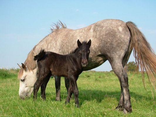 """Fohlen """"Jenny"""" (geboren am 14.08.2005) neben der Mutter """"Rina"""""""