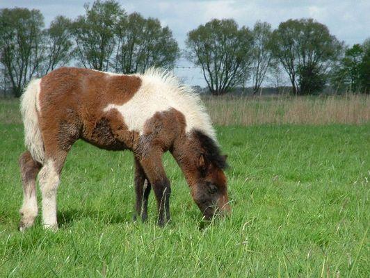 """Fohlen """"Wobbie / Whisky"""" (geboren am 03.03.2005) auf der Weide im Ganzkörperprofil"""