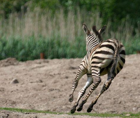 ~~Formel Zebra~~