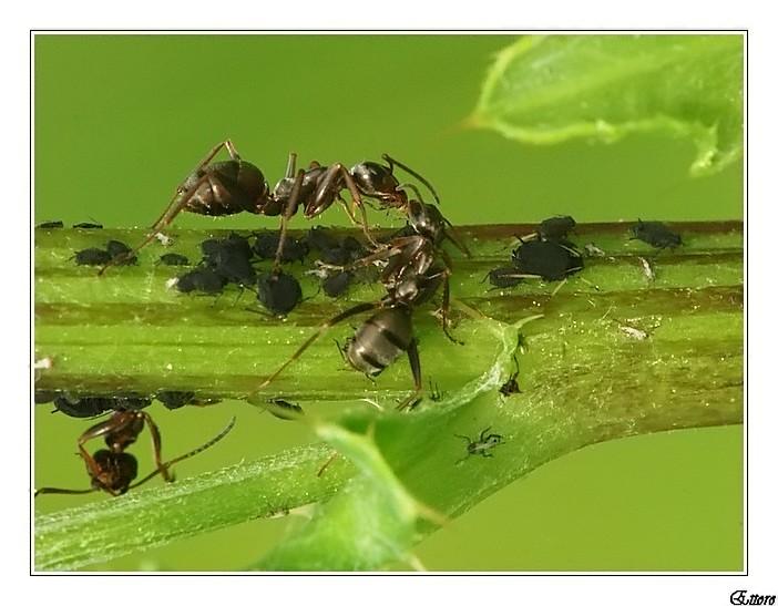 Formiche e pidocchi