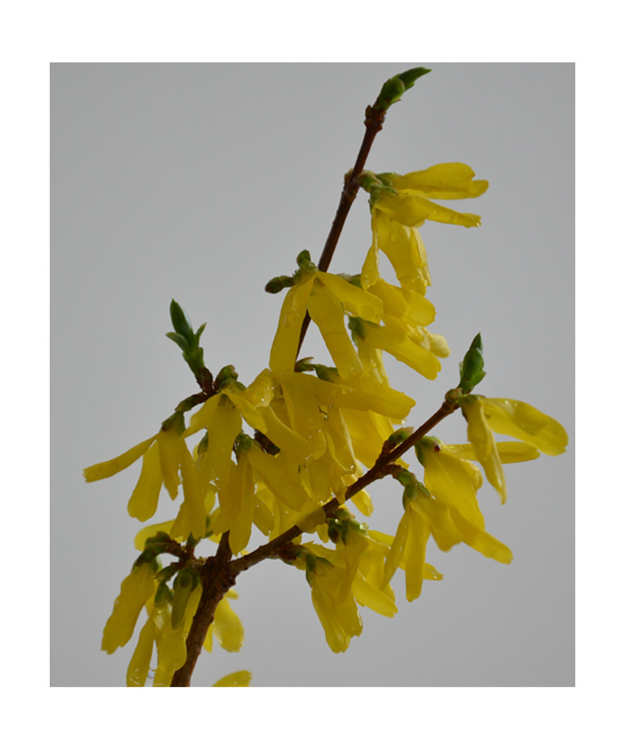 Forsythia - Blüten...