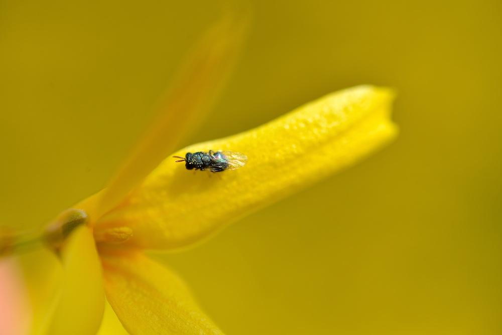 Forsythie mit Fliege
