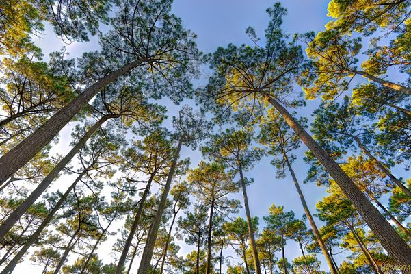 Forêt de pins Landais