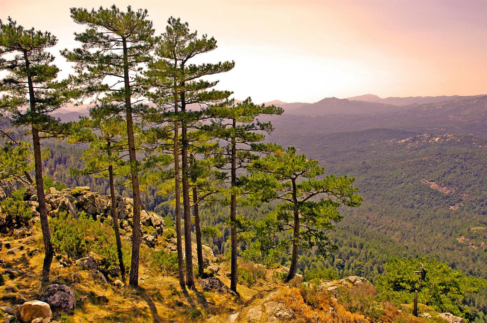 Forêt de ZONZA (Corse)