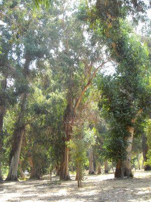 forêt d'eucalyptus