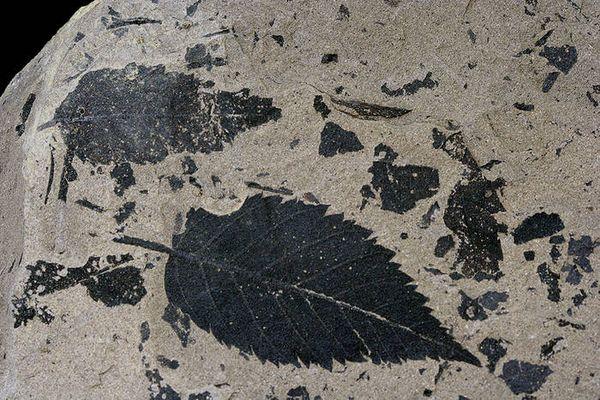 Fossiles Blatt (Versteinert) ca. 11. Mio. Jahre alt