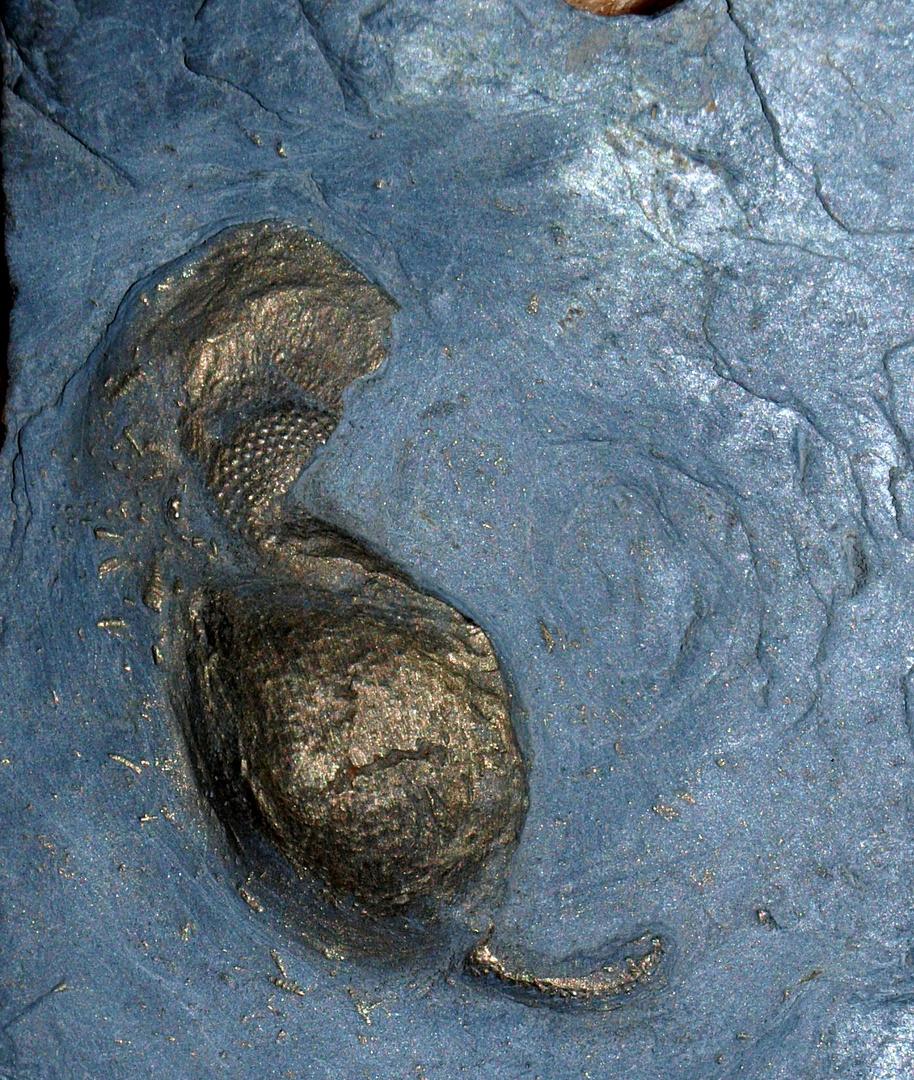 Fossilie Trilobitenkopf