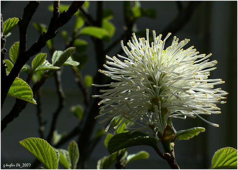 Fothergilla - Blüte