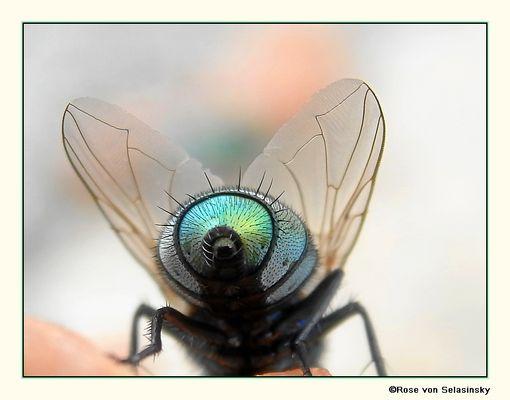 Fotogenes Hinterteil einer Schmeißfliege