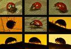 Fotojagd auf einen Marienkäfer