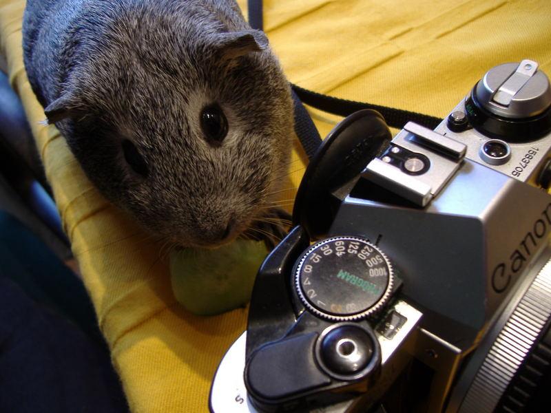 Fotokurs für Meerschweinchen