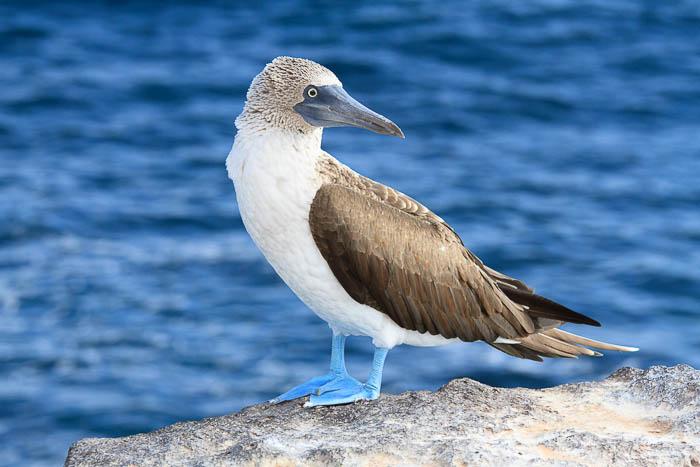 Fotoreise Galapagos Inseln - Blaufußtölpel (Sula nebouxii)