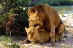 Fotoreise -Südafrikas Tierwelt- 2012-A Die Höhepunkte: Löwen Liebesspiel am Sonntagmorgen V2