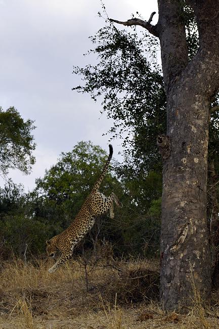 Fotoreise -Südafrikas Tierwelt- 2012-B Die Höhepunkte: Der springende Leopard