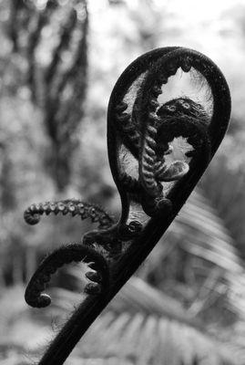 Fougère (crosse noire)