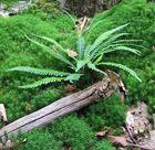 Fougère de la forêt du Gâvre