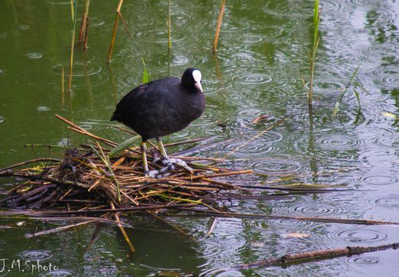 Foulque macroule au nid