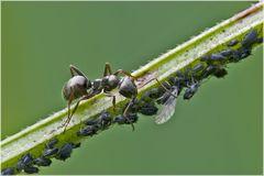 Fourmi et élevage de pucerons