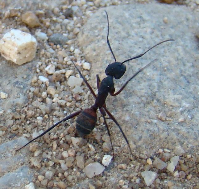Fourmi Méditerranéenne, Campanus Cruantatus