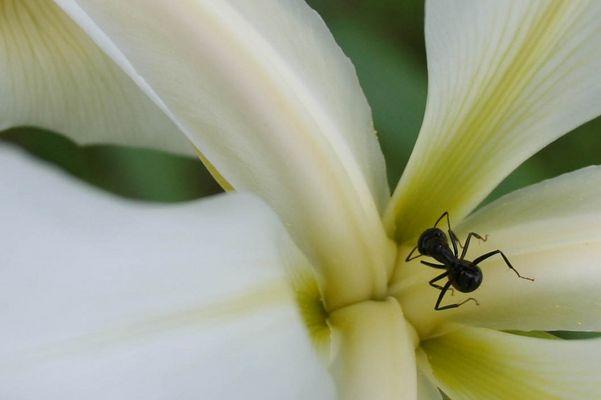 Fourmis au coeur d'une iris