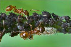 Fourmis, pucerons cendrés et larve de syrphe