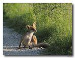 Fox #3 - Relax