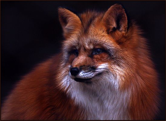 Fox ( reload )