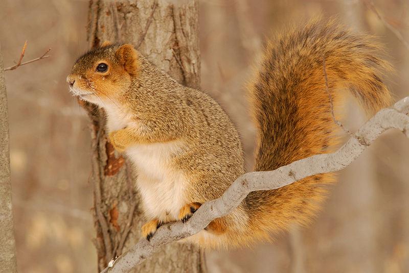 Fox Squirrel (Sciurus niger)