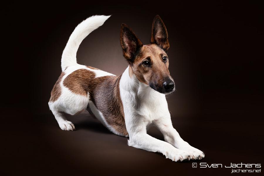 Fox Terrier II