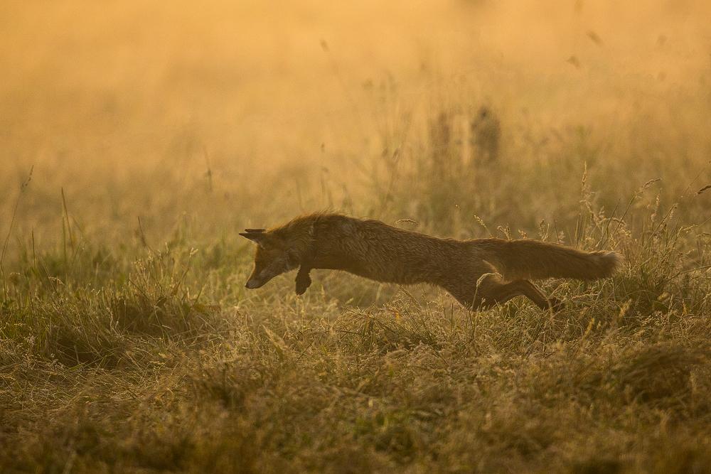 Foxcrossing